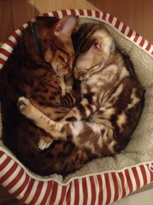 Our two Bengals Max and Jack