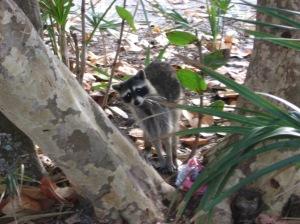 A cheeky racoon!